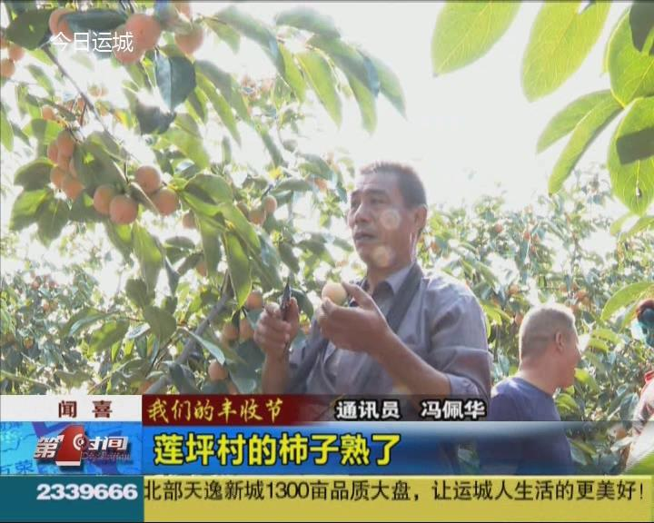 【我們的豐收節】蓮坪村的柿子熟了